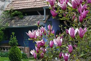 Jardins de la Ferme Bleue, magnolia printanier, Uttenhoffen, Alsace
