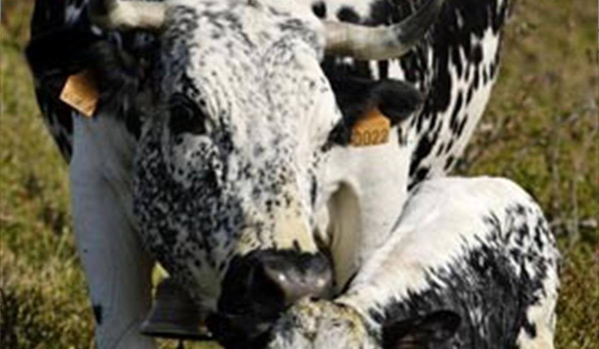 Vache vosgienne - vallée de Munster - Alsace