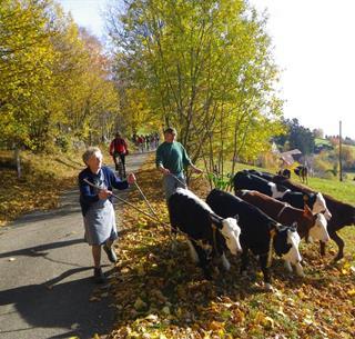 Vaches au Hilsen Crédit: Francis Kruch