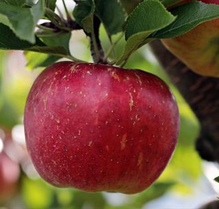 Conférence arbre fruitier bio